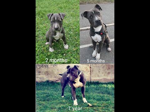 Blue American Staffordshire Terrier Puppy - The First Year  ( Arakiel )