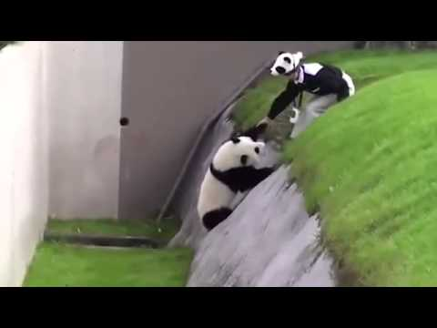 Funny Video - Playful panda has to be rescued after getting stuck in ditch