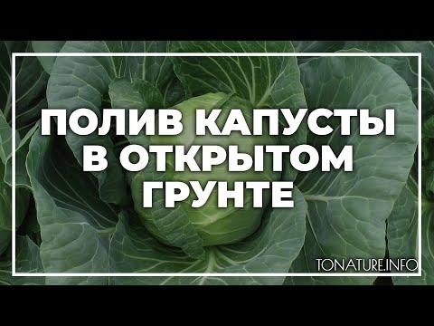 Вопрос: Как в жару поливать капусту, когда поливать капусту в жаркую погоду?
