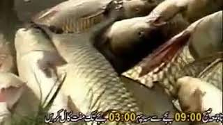 Fish Farming in Pakistan part 2 by Made in Pakistan360p