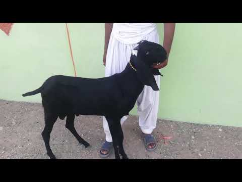 Beetle Rajanpuri Bakra For Sale My Channel Like And Subscribe Comment Share