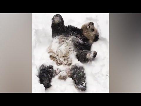 Giant panda's heartwarming snow day