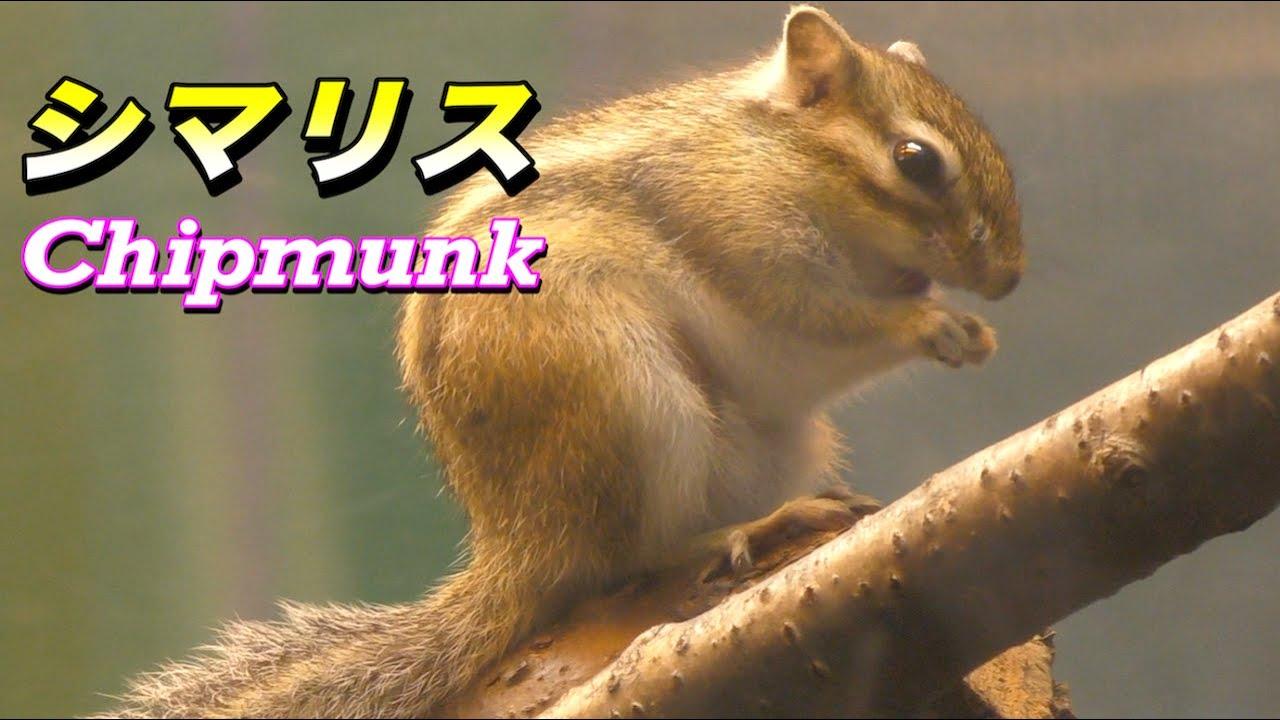 【可愛い動物】シマリス〜超絶 かわいすぎる小動物〜(Chipmunk ...