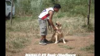 Manalo K9 Basic Obedience (2nd Week) Training Of Golden Retriever (vintage Video)