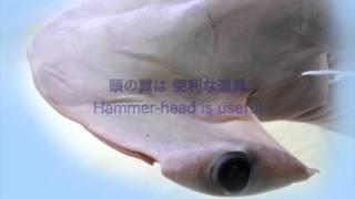 シュモクザメ/Hammerhead Sharks