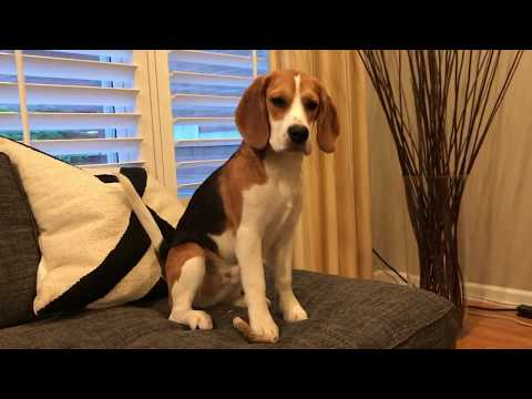 Beagle puppy eats watermelon for the first time