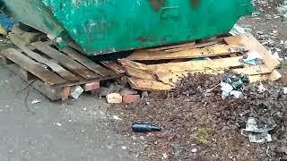 Крысы в Томске, томичи бьют тревогу