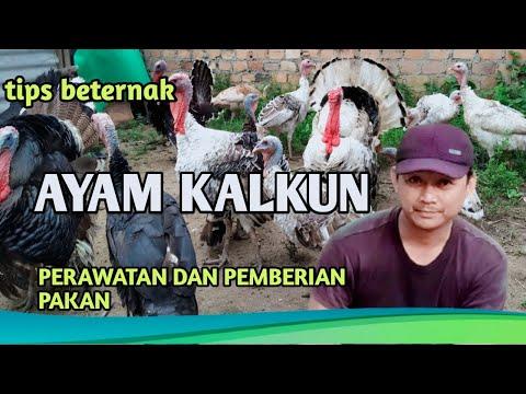 Tips SUKSES BETERNAK AYAM KALKUN SKALA RUMAHAN/RAISING TURKEYS
