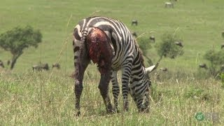 Zebras: Nature's Ultimate Prey - Horrifying Planet - Ep. 1 thumbnail