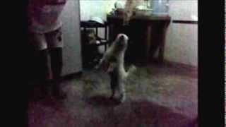 Ikot Ikot - cute puppy dancing