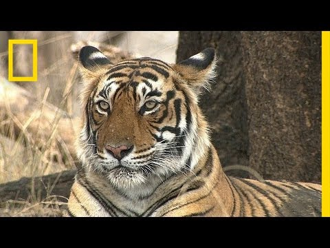 Can India's Tigers and Tourists Get Along?   National Geographic