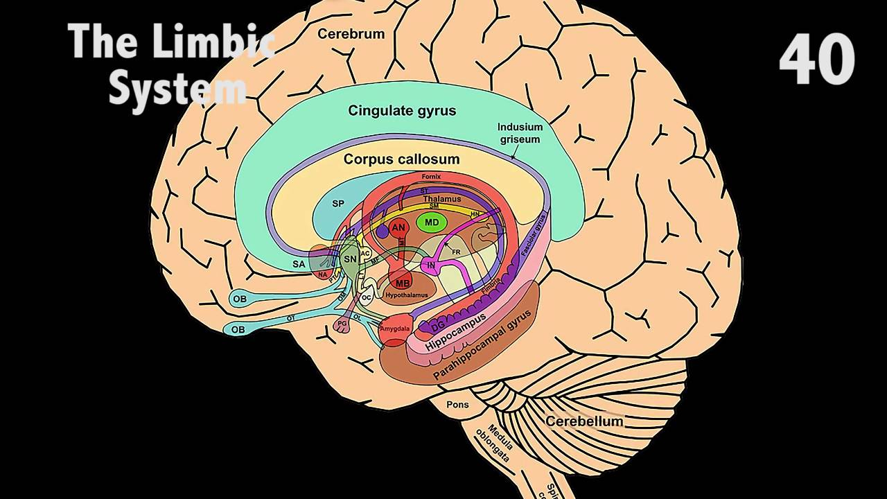 The Limbic System in 60 seconds - YouTube