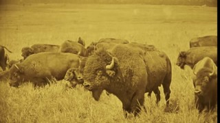 "Home on the Range: Bison Hunt from ""The Daughter of Dawn"""