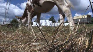 Suède : sécheresse historique, une catastrophe pour les éleveurs