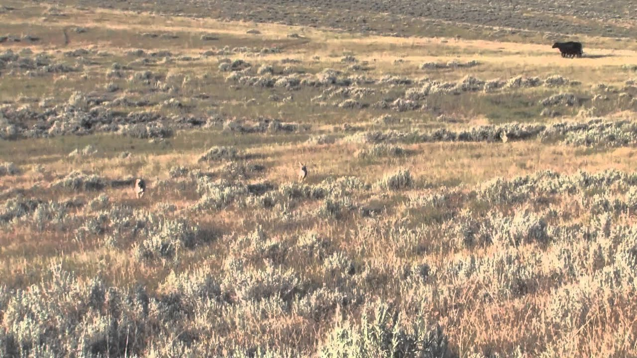Coyote Hunting In Montana Montana Doggers Cattle Dog
