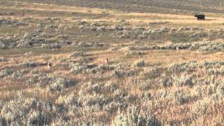 Coyote Hunting In Montana - Montana Doggers Cattle Dog