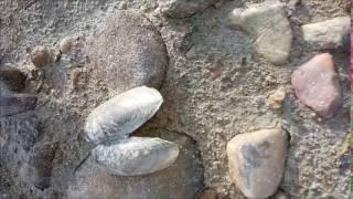 freshwater mussel shell bivalve
