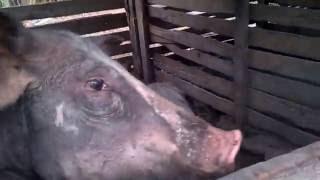 Tratando dos porcos no sitio.