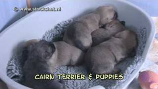 Cairn Terrier & Puppies
