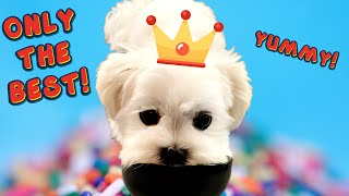 MALTESE PUPPY EATS ONLY BEST FOOD  Cute Dog Video