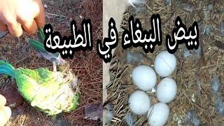شاهد عثرناعلى بيض وافراخ ميته طائر الببغاءالدره الهندي