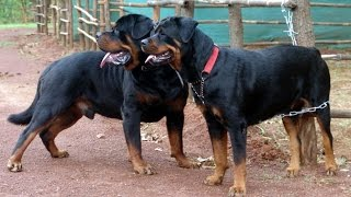 Dog Mating/breeding Video Rottweiler