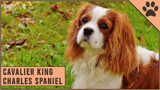 Cavalier King Charles Spaniel Características y Curiosidades | Perros Mundo