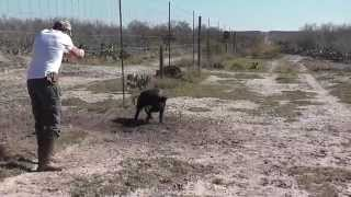 Crazy Wild Hogs Snared and Eliminated - Hog Hunting