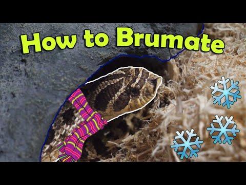 Snake Breeding 101: How to Brumate Colubrids