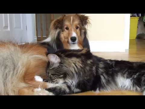 How Maine coons show their love