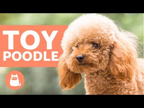 TOY POODLE - Characteristics, Character and Care