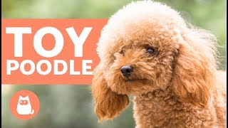 TOY POODLE  Characteristics, Character and Care