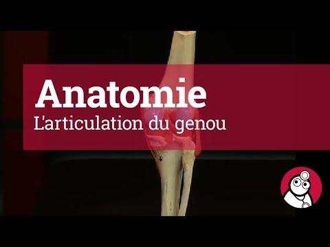 Anatomie: L'articulation du genou