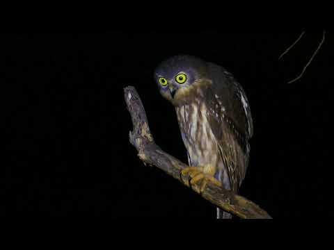 Barking owl calling (Ninox connivens)