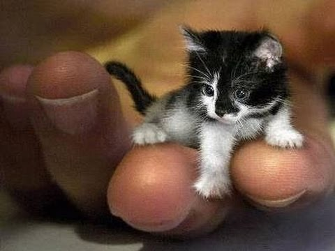 the smallest cat like a mouse world record guinness
