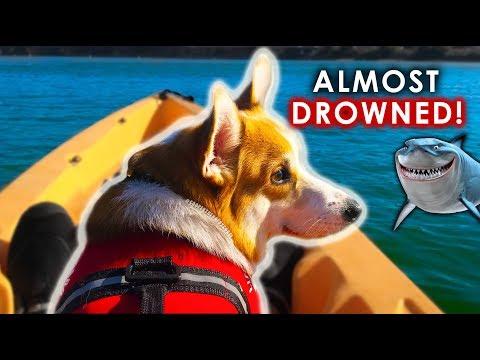 corgi-dog's-first-time-kayaking---unbelievable-calm-corgi!