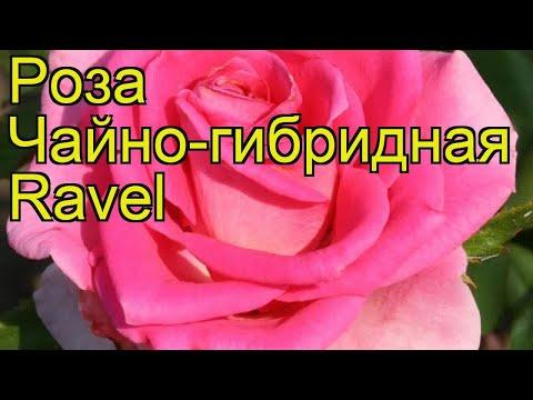 Роза чайно-гибридная Равель. Краткий обзор, описание характеристик, где купить саженцы Ravel