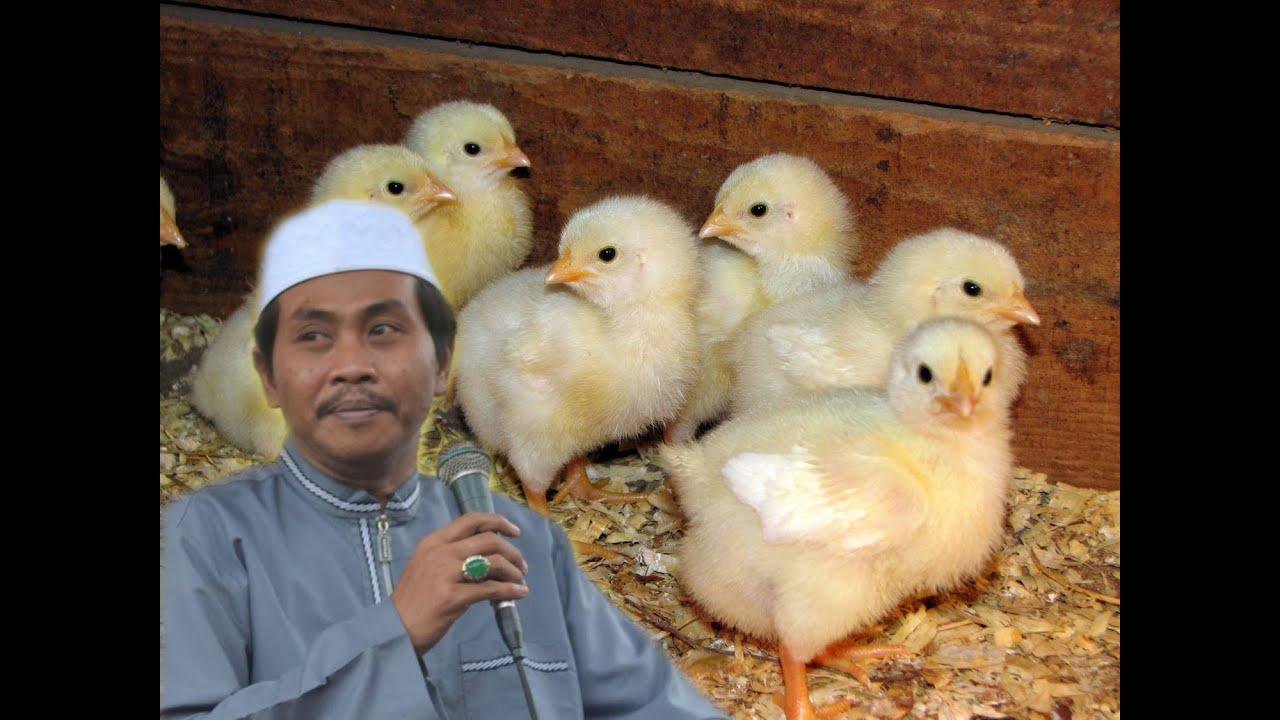 Koleksi  Meme Lucu Ayam Potong Terkeren