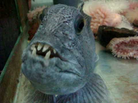 Le loup de mer anarhichas lupus youtube - Cuisiner le loup de mer ...