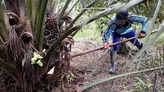 Teknik Pruning Pelepah Pohon Sawit Yang Efektif
