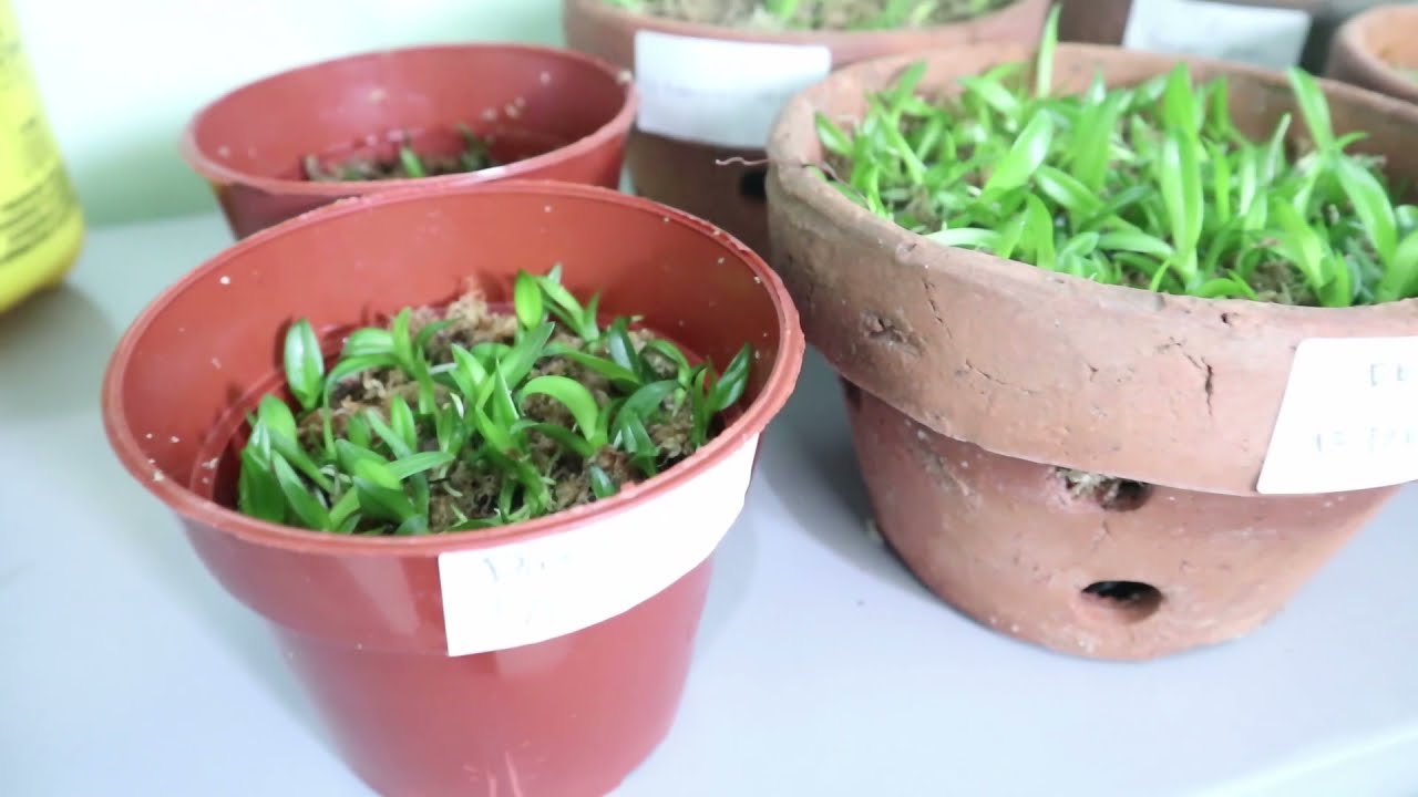 VIDEO LEARNING THE MAKING OF ORCHID'S TISSUE CULTURE MEDIA