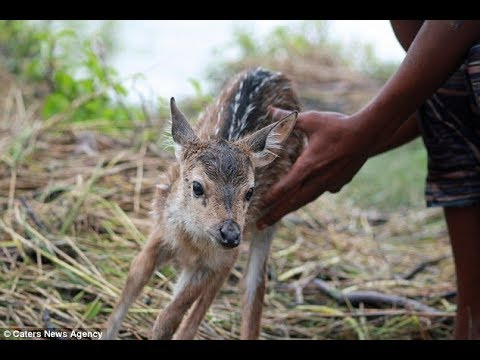 When He Saw This Baby Deer Floating Down A Swollen River , He Knew He Had To Do Something And QUICK.