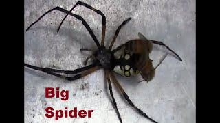 Honey bees attacked a big spider
