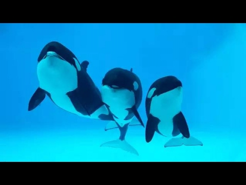 China opens orca breeding center