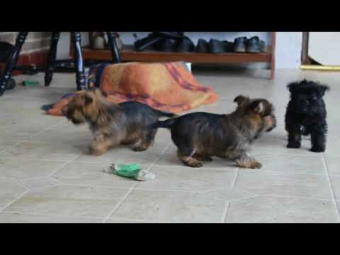 Cairn Terrier Mix Puppies For Sale