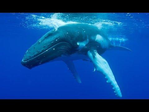 Горбатый кит - Humpback Whale (Энциклопедия животных)