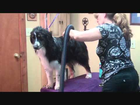 Grooming The Australian Shepherd Part 2 - Drying the Dog