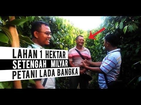Nyata!! 500 Juta Di Lahan 1 Hektar Sekali Panen Kebun Lada | Petani Lada Bangka Belitung