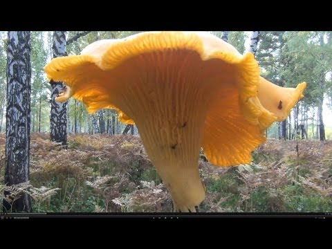 Гиганская лисичка, огромный рыжик настоящий грузь волнушка Huge mushroom chanterelleм saffron