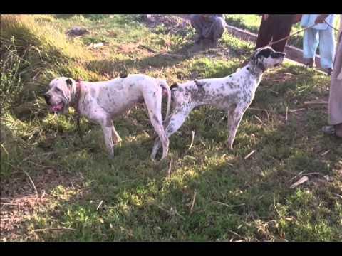 Bella Breeding Video - YouTube